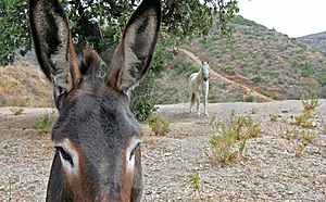 Close Up Of Spanish Donkey Looking At White Horse Stock Photos