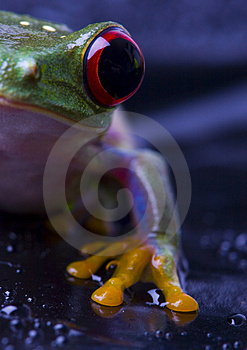 Frog Royalty Free Stock Images - Image: 2103619