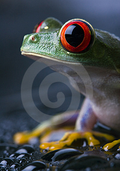 Frog Royalty Free Stock Photography - Image: 2103647