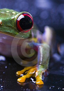 Frog Royalty Free Stock Photos - Image: 2103678
