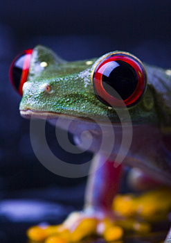 Red Frog Stock Photography - Image: 2103682