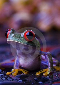 Red Frog Stock Photos - Image: 2103683