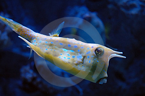 Tropical Yellow Fish Royalty Free Stock Images - Image: 2108439