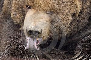 Медведь Кодьяка лижа лапку Стоковые Изображения - изображение: 2108724