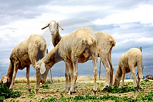 Sheeps Browsing Fresh Gras Stock Photography - Image: 21004322