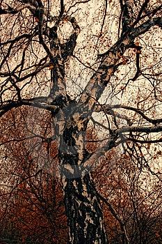 Autumn Birch Royalty Free Stock Photo - Image: 21008315