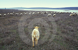 Goat And Flock Of Sheep Stock Photo - Image: 21009070
