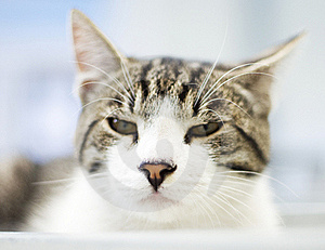 Sleepy Cat Profile Royalty Free Stock Photos - Image: 21014168