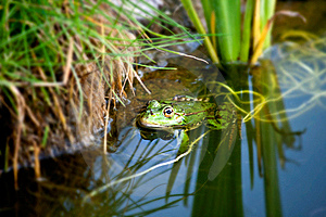 Frog In A Natural Environment Stock Image - Image: 21026441