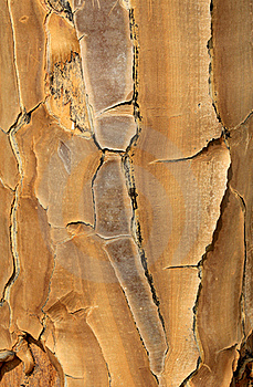 Close-up Of A Quiver Tree (Aloe Dichotoma) Royalty Free Stock Photography - Image: 21026837