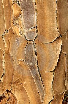 Close-up Of A Quiver Tree (Aloe Dichotoma) Royalty Free Stock Photography - Image: 21026837