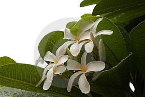 White Flowers Royalty Free Stock Image - Image: 21032666
