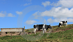 Cows Grazing Royalty Free Stock Photos - Image: 21035918
