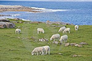 Sheep On Irish Coastline Stock Photo - Image: 21036210