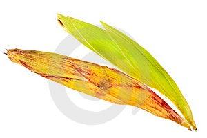 Corncobs In Husk. Stock Photo - Image: 21038920