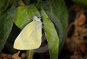 Yellow Pieris Brassicae Butterfly Royalty Free Stock Photos - Image: 21047418