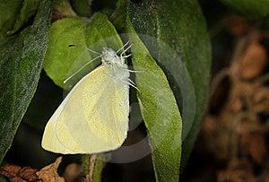 Yellow Pieris Brassicae Butterfly Royalty Free Stock Photos - Image: 21047418