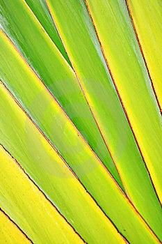 Raya Del Vástago Del Plátano Foto de archivo - Imagen: 21050950