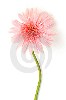 Pink Gerbera Flower On Stem Stock Photography - Image: 21051292
