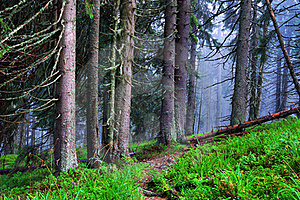 Coniferous Wood Royalty Free Stock Images - Image: 21052929