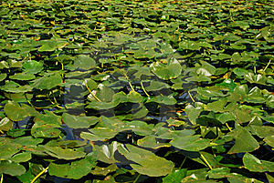Danube Delta Lilies Stock Photos - Image: 21053713