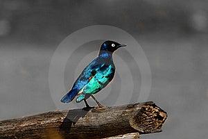 Look Of A Bird,africa Safari Royalty Free Stock Images - Image: 21062299
