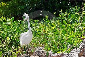 Snowy Egret Stock Photos - Image: 21071633