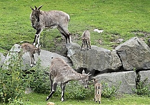 Himalayan Blue Sheep Stock Photos - Image: 21102973