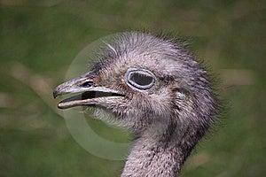 American Rheas Head Stock Photography - Image: 21105132