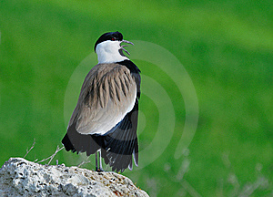 Spur-winged Lapwing Stock Photos - Image: 21107073