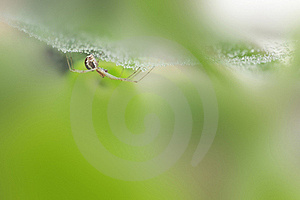 Spider Under Wet Hanging Web Royalty Free Stock Photos - Image: 21117338