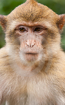 Barbary Macaque Stock Images - Image: 21121384