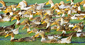 A Group Of Duck Stock Images - Image: 21131514