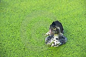 A Black Ducks Royalty Free Stock Photo - Image: 21131545