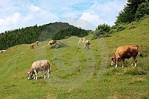 Cows On Alpine Pasture Stock Photo - Image: 21131610