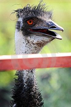 Cute Emu Portrait Royalty Free Stock Photography - Image: 21140837