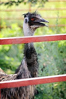 Emu Behind Fence Stock Image - Image: 21140841