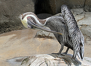 Pelican Stock Photography - Image: 21149632