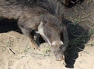 Pig Stock Photo - Image: 21153170
