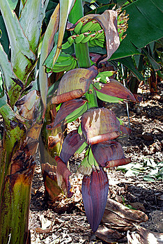 Banans, San Andrés Royalty Free Stock Photography - Image: 21159067