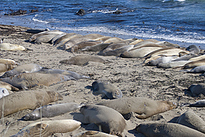 Elephant Seals Stock Images - Image: 21168904