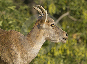 Iberico Chamois Royalty Free Stock Photo - Image: 21169975