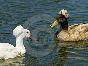 Two Crested Ducks Royalty Free Stock Photography - Image: 21207917
