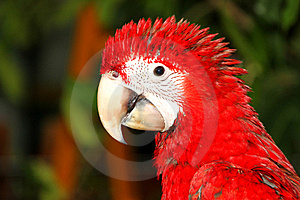 Scarlet Macaw Royalty Free Stock Image - Image: 21213166