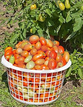 Basket Of Plum Tomatoes Stock Photography - Image: 21222092