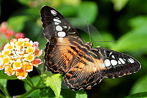 The Brown Clipper Butterfly Royalty Free Stock Images - Image: 21225889