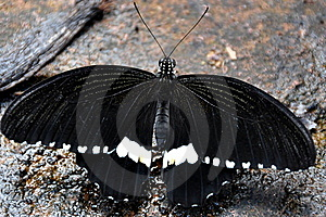 Male Common Mormon Butterfly Stock Images - Image: 21225974