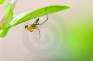 Lynx Spider Stock Images - Image: 21228794