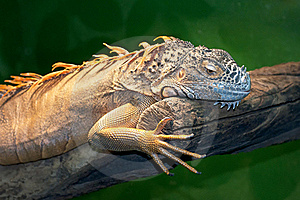 Iguana Royalty Free Stock Photography - Image: 21230667