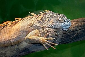 Iguana Royalty Free Stock Photography - Image: 21230667